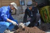 Múzeum takarítás és feketeberkenye ültetőfóliába plántálása (2017. 03. 29.)